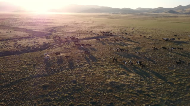 aerial view of wild horses running as the sun shines over the mountain top - pferd stock-videos und b-roll-filmmaterial