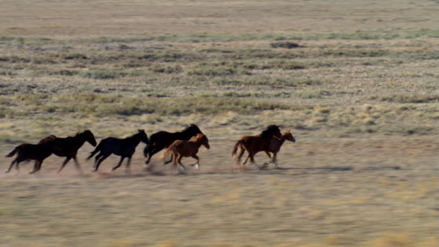 aerial view of wild horses running on arizona mesa - pferd stock-videos und b-roll-filmmaterial