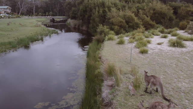 4K Aerial view of wild kangaroos, river and forest at Merry Beach, Kioloa, New South Wales, Australia