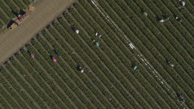 aerial view of workers in strawberry field at farm near barn / watsonville, california, united states - farm worker stock videos & royalty-free footage