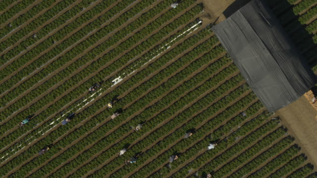 aerial view of workers in strawberry field at farm near barn / watsonville, california, united states - distant stock videos & royalty-free footage