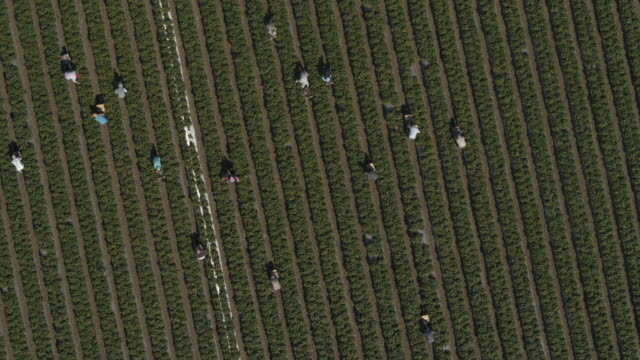 vídeos de stock, filmes e b-roll de aerial view of workers in strawberry field at farm / watsonville, california, united states - trabalhador rural