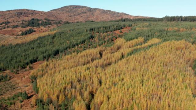 vídeos y material grabado en eventos de stock de vista aérea de pinos amarillos y verdes en una zona de bosque en la zona rural de dumfries y galloway - pinaceae