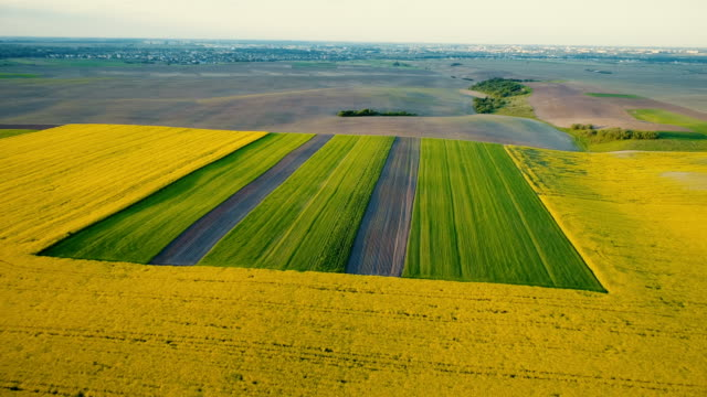 Aerial view of  yellow field of rapeseed