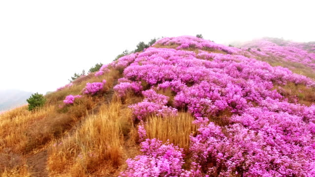 aerial view of yeongchwisan mountain with azalea and cloud sea in spring - heidekraut stock-videos und b-roll-filmmaterial