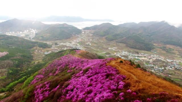 aerial view of yeongchwisan mountain with azalea in spring - heidekraut stock-videos und b-roll-filmmaterial