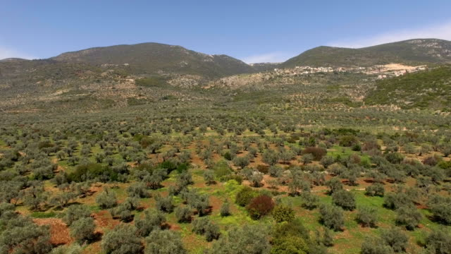 aerial view- olive groves of the galilee - wäldchen stock-videos und b-roll-filmmaterial