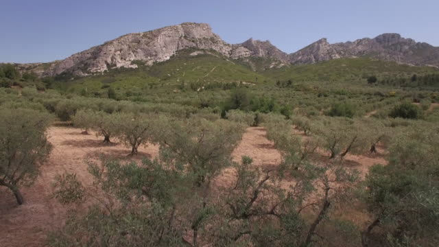 Aerial view WS Olive trees and the mountain range Les Alpilles