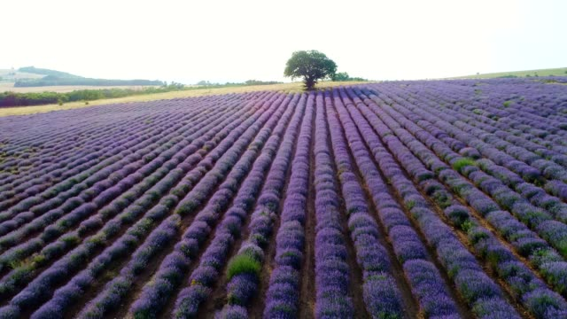 Aerial view over Lavender Fields in Springtime, Small Business and Investment, Agricultural Occupation.
