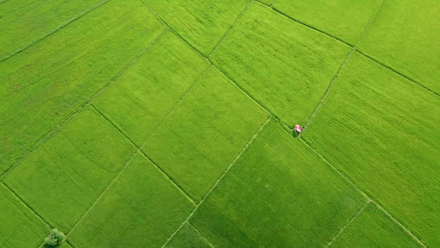 Aerial view over of green rice paddy in countryside