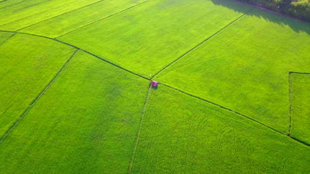 aerial view over of green rice paddy in countryside - rice cereal plant stock videos and b-roll footage
