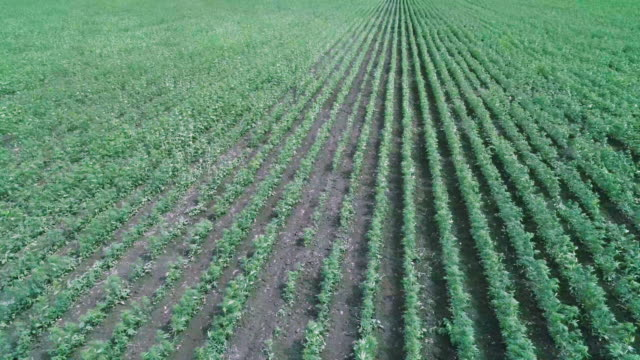 aerial view over the harvest of a hemp field. agricultural occupation. medical marijuana plantation. panning shot. - agricultural occupation stock videos & royalty-free footage