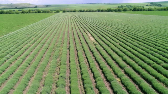 aerial view over the new harvest of the blooming lavender plantation. agricultural occupation. bulgarian lavender fields. panning shot. - agricultural occupation stock videos & royalty-free footage