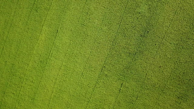 aerial view paddy rice in green rice field - ubud district stock videos & royalty-free footage