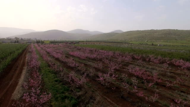 aerial view- pink flower bloom of peaches orchard in early spring - lebanon country stock videos & royalty-free footage