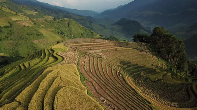 aerial view rice terraces of farm on hilly or mountainous terrain,beautiful landscape view of rice terrace in mu cang chai at vietnam , agriculture harvest paddy fields terraces is farming traditional in southeast asia - sa pa stock videos and b-roll footage