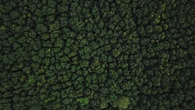 Aerial View - Rubber Tree Plantation.