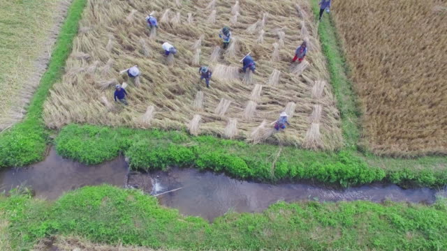 Aerial view shot of farmers are harvesting