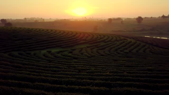 vídeos de stock, filmes e b-roll de tiro de vista aérea de plantação de chá em tailândia do norte - orgânico
