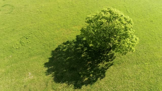 ms aerial view single tree in sunny green field - single tree stock videos & royalty-free footage