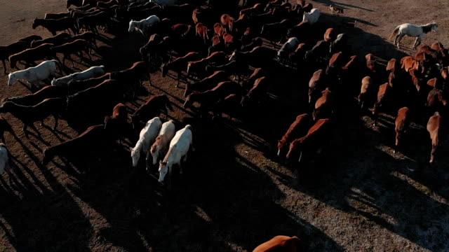 vídeos y material grabado en eventos de stock de vista aérea movimiento lento de los caballos salvajes - área silvestre