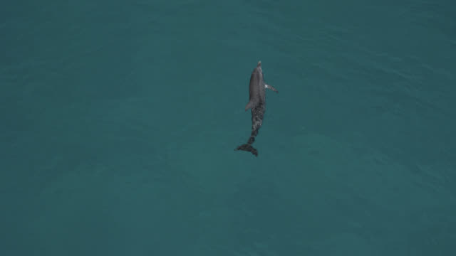 stockvideo's en b-roll-footage met aerial view spotted dolphin at surface, bahamas - bimini