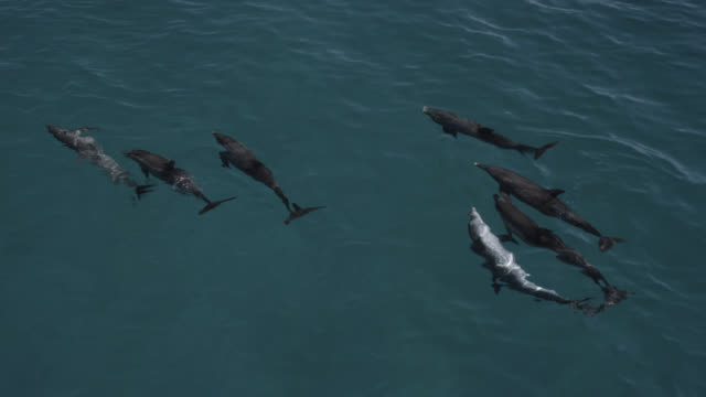 aerial view spotted dolphins at surface, bahamas - bimini stock videos & royalty-free footage