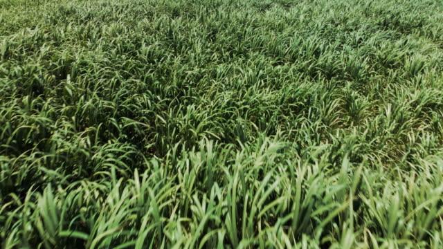 vídeos y material grabado en eventos de stock de aerial view sugarcane fields blowing in the wind - hispaniola