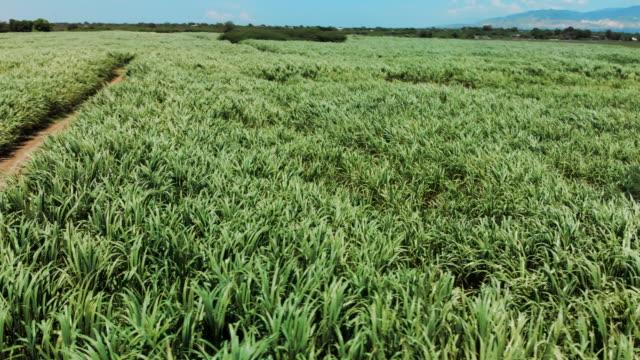 vídeos y material grabado en eventos de stock de aerial view sugarcane fields with wind blowing & mountains behind - hispaniola