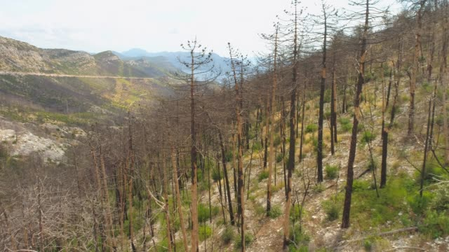 WS Aerial view trees on hillside after forest fire,Pelijesac,Croatia