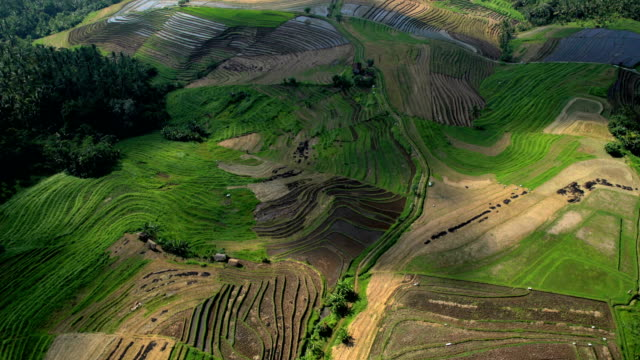 aerial view ubud plantation farming rice terraces bali - cereal plant stock-videos und b-roll-filmmaterial