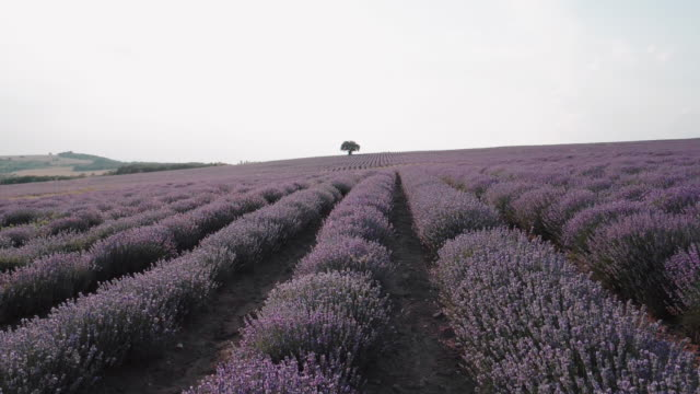 aerial view. walking in lavender fields in summer, small business and investment, agricultural occupation. - agricultural occupation stock videos & royalty-free footage
