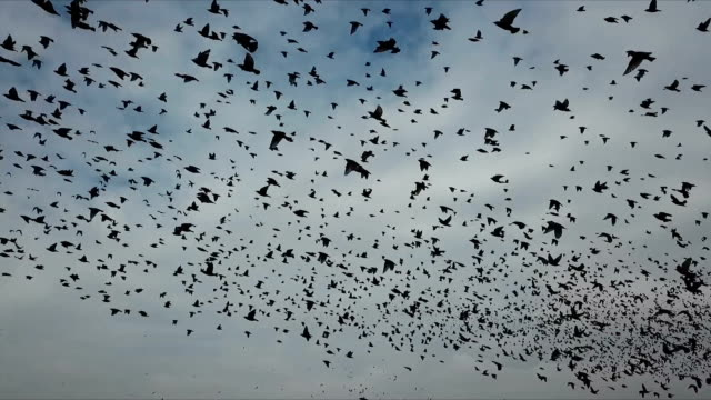 aerial view with slow motion - thousands of common starlings (sturnus vulgaris) fly towards camera / duda'im rubbish dump, southern israel - flock of birds stock videos & royalty-free footage