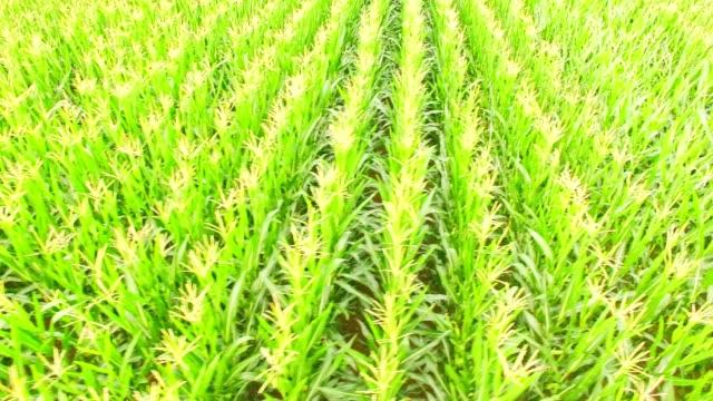 Luftaufnahme: junge Maisfeld