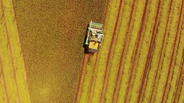 aerial view/a combine harvester that is harvesting rice in the field ready to be harvested. technology built for modern farmers - cut video transition stock videos & royalty-free footage
