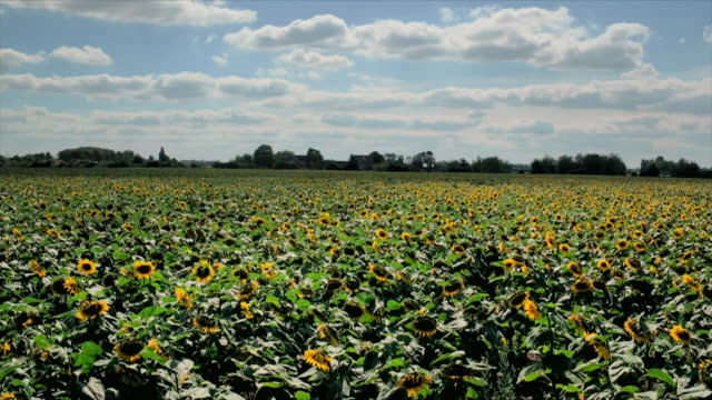 aerial views of a field full of sunflowers - flowerbed stock videos & royalty-free footage