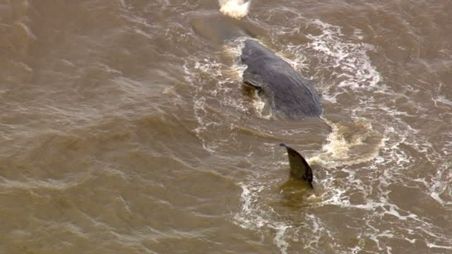 aerial views of beached sperm whale stranded on hunstanton beach on february 04 2016 in hunstanton england - five animals stock videos and b-roll footage