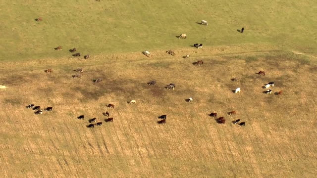 aerial views of cows cattle grazing in field on 21st february 2018 eastbourne england - comportamento animale video stock e b–roll