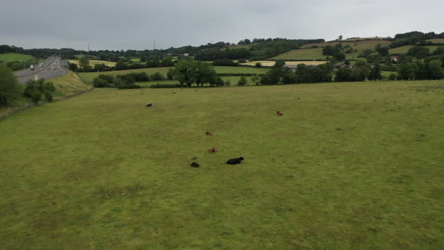 aerial views of cows on a farm - bull animal stock videos & royalty-free footage
