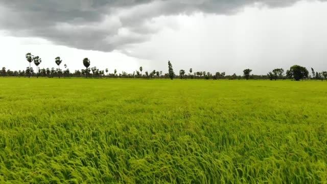 vidéos et rushes de aerial view/the fertile rice fields are blown by the wind and rain. - chapeau de paille