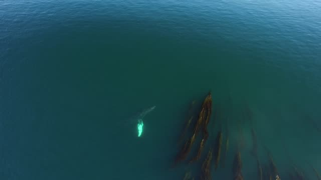 Aerial: Whales Swimming And Spraying In Seaweed Filled, Green Ocean Water