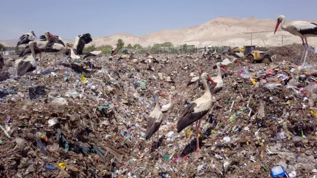 aerial/ white storks (ciconia ciconia)feeding in garbage dump during migration, with garbage in background - rubbish dump stock videos & royalty-free footage