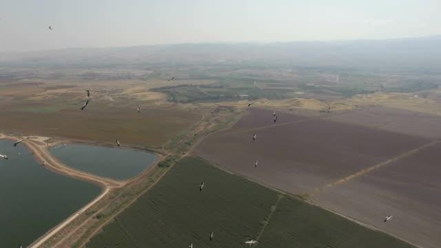 vidéos et rushes de aerial: white storks (ciconia ciconia) migrating above desert oasis an fish ponds- beit shean, israel - étang