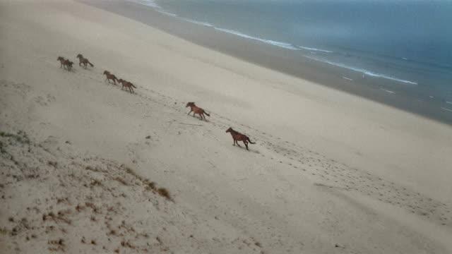 aerial wild horses galloping across sandy beach / passing overhead / british columbia, canada - galoppera bildbanksvideor och videomaterial från bakom kulisserna