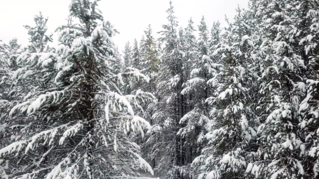 aerial winter fall over pine forest - pinaceae stock videos & royalty-free footage