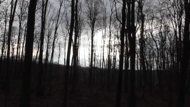 vidéos et rushes de aerial w/s, atmospheric forest in winter - arbre sans feuillage