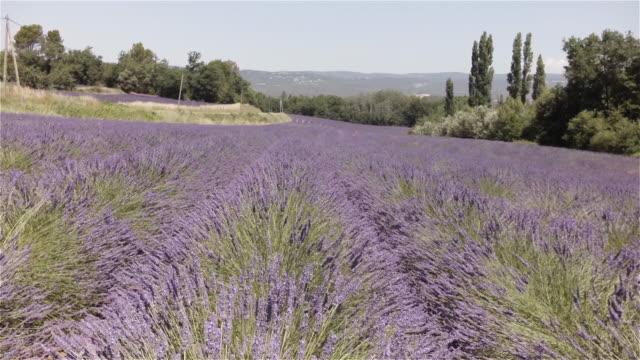 vídeos de stock e filmes b-roll de aerial w/s lavender field - luberon