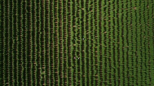 aerial zoom into workers harvesting beans, uk - runner bean stock videos & royalty-free footage