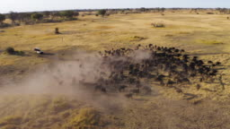 Aerial zoom out view of tourists in a 4x4 off-road safari vehicle watching a large herd of Cape buffalo grazing in the Okavango Delta, Botswana