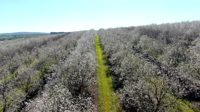 vídeos y material grabado en eventos de stock de aerial/almond orchard bloom in jezreel valley, galilee, israel - huerta